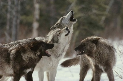 wolves01