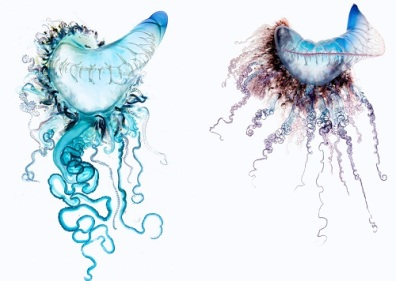 Portuguese Man of War National Geographic