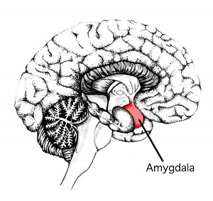 The amygdala