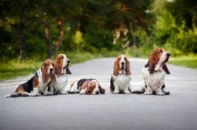 group of dogs basset hound sitting on the road