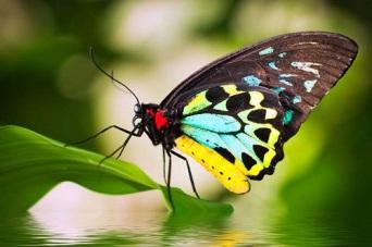 birdwing-butterfly