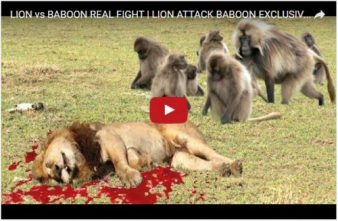 lion-and-baboons